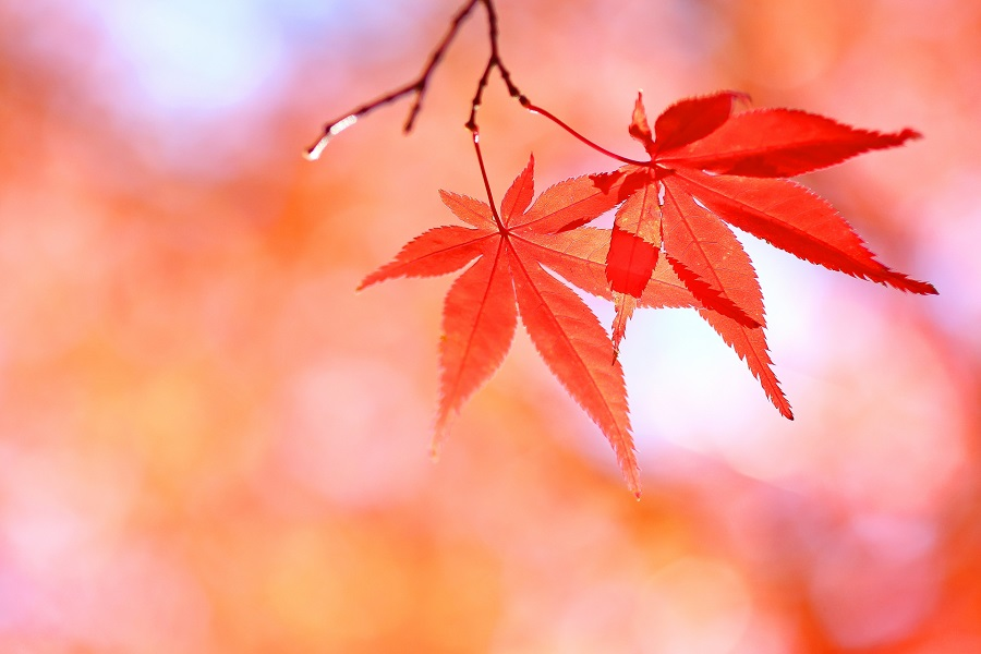 秋は紅葉で邪気払い【写真:写真AC】