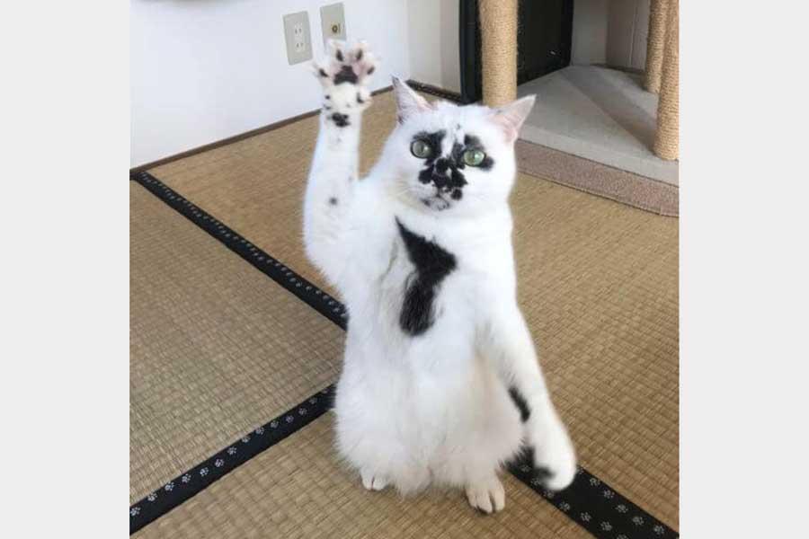 黒ぶち模様がチャームポイントのミチルちゃん【写真:猫ねこ部】