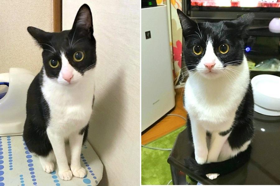 くろまめちゃんの夏毛(左)と冬毛(右)を比較【写真提供:くろまめ&とうふ&もやし@猫姉弟(@kuromame_touhu)さん】