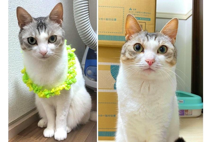 話題になったとうふちゃん。左が7月に撮影した夏毛、右が11月の冬毛【写真提供:くろまめ&とうふ&もやし@猫姉弟(@kuromame_touhu)さん】