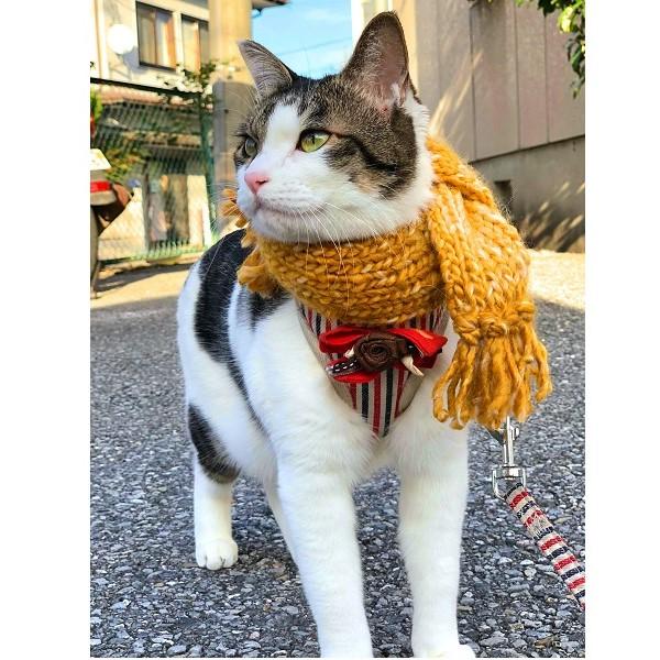 手編みのマフラーを巻いてお散歩中のミミちゃん【写真提供:ホマ蔵(@homa0814)さん】