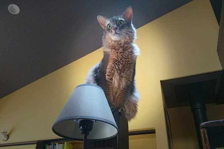 美形で頭も良いソマリのテトくん【写真:愛猫めもりー/Love cat memory(@nS5NKfflOKJ2oGE)さん】