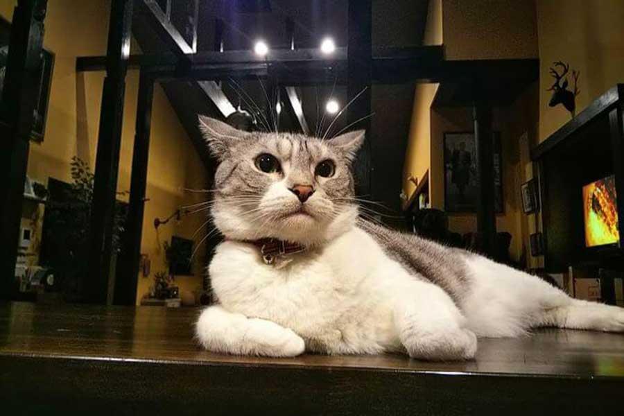 甘え上手なマンチカンのカブくん【写真:愛猫めもりー/Love cat memory(@nS5NKfflOKJ2oGE)さん】