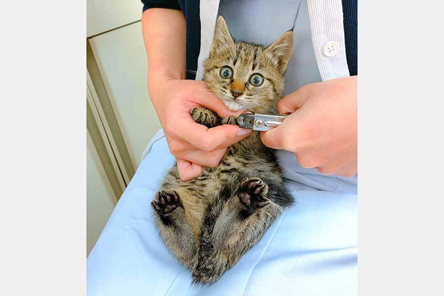目をまん丸にして超緊張するきなこちゃん【写真提供:ユウさん/U-sun【獣医師】(@CatdoctorU)さん】