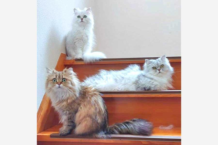 「ここは通さぬ~」と言わんばかりに階段に並ぶ3匹。手前から武蔵ちゃん、コジローくん、ぎんちゃん【写真:nyaotaro(@nyaotaro3)さん】