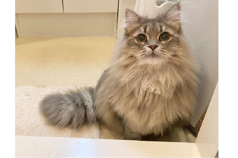 視線の先には飼い主さんがいるお風呂場が【写真提供:リリィ・サイベリアン10ヶ月(@LilyK1101)さん】