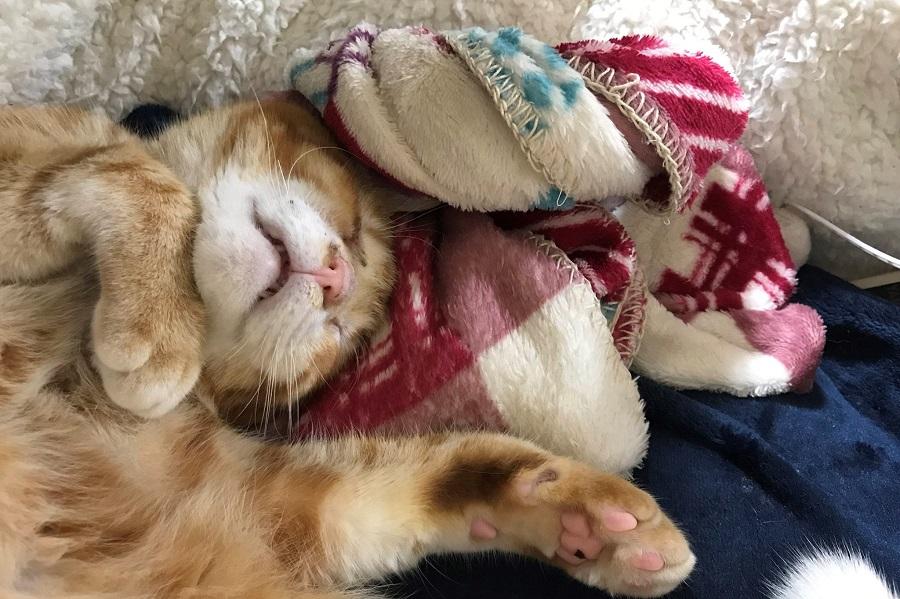 ブランケットとお昼寝。歌手MISIAさんに似ているという声も【写真提供:子猫ひろった(@iuLV9mOJbm5GKsv)さん】