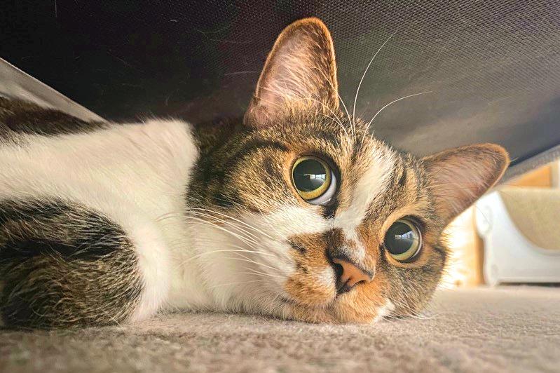 今はこんなにかわいい顔になったしのぶちゃんですが保護時は…【写真提供:しのぶ(猫)さん(@PanainoShinobu)】