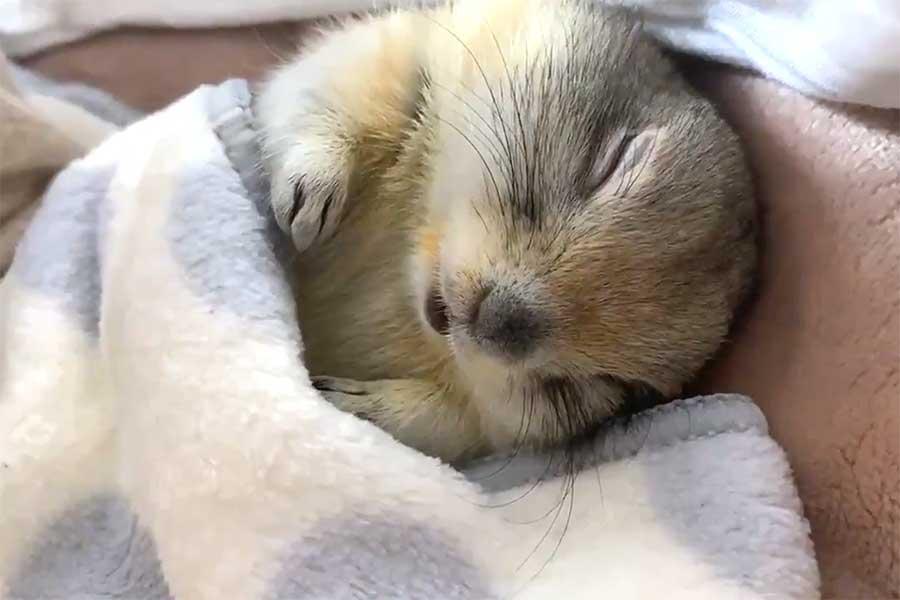 リチャードソンジリス、ハチくんの寝顔【写真提供:ハチ公の僕(@hacchi_pucchi33)さん】