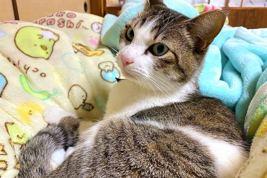 """今回の""""猫神様""""ことあんこちゃんは2歳の女の子【写真提供:ねこおでん(@neko_oden123)さん】"""
