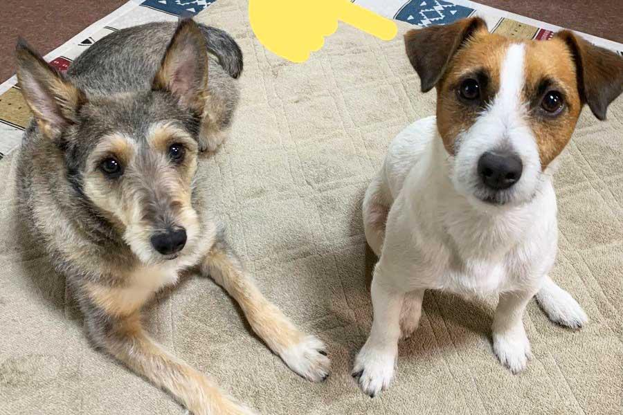 右が話題のダッシュくん。左は同居犬の銀次くん【写真提供:風呂屋(@Play_shoot)さん】