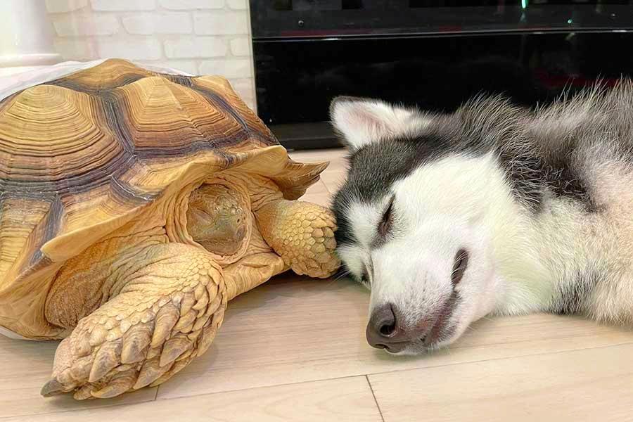 ケヅメリクガメとシベリアンハスキーが添い寝。珍しくもかわいい姿が大反響【写真提供:s(@mimioden)さん】