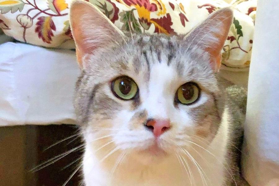 鼻の斑点がチャームポイント。8歳のマンチカン、タロウくんのおかお【写真提供:なみお(@wavemomchan)さん】