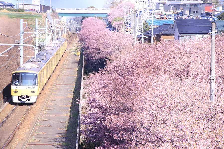 河津桜が美しい一枚。でもよく見ると……?【写真提供:ベラス@JK(@velous_93)さん】