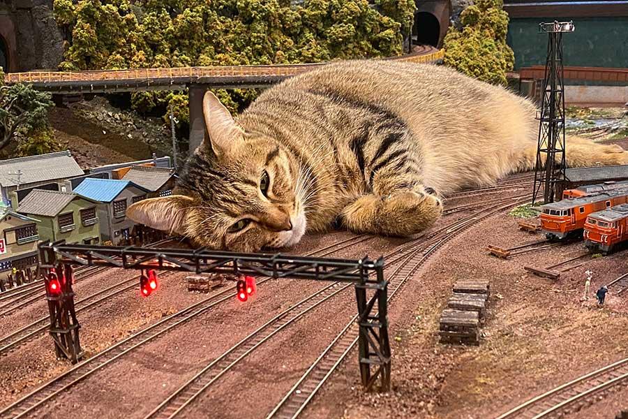 ジオラマ鉄道の看板ねこ、サラお母さん。代表・寺岡さんの夢は、寄ってきて膝に乗ってくれること【写真提供:ジオラマ食堂 diorama restaurant(@Caferest_bar_Fe)さん】