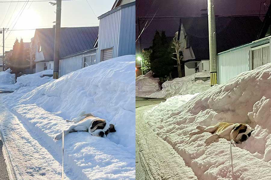 雪の上で寝そべるセントバーナードのダンテくん。朝も夜も……【写真提供:コマチ(@komachi8991)さん】