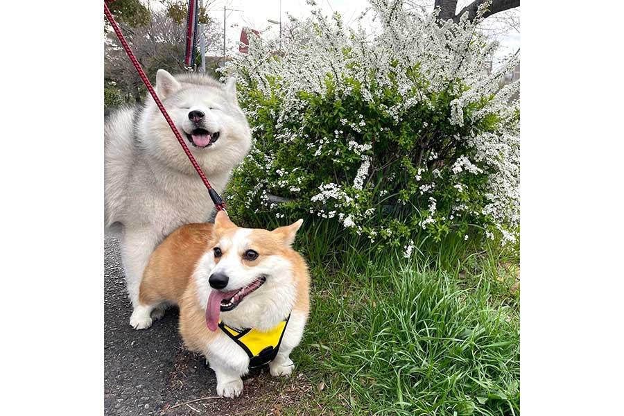 お散歩も一緒! 2匹ともバッチリ笑顔【写真提供:rrrrhorisan(@rrrrrhori)さん】