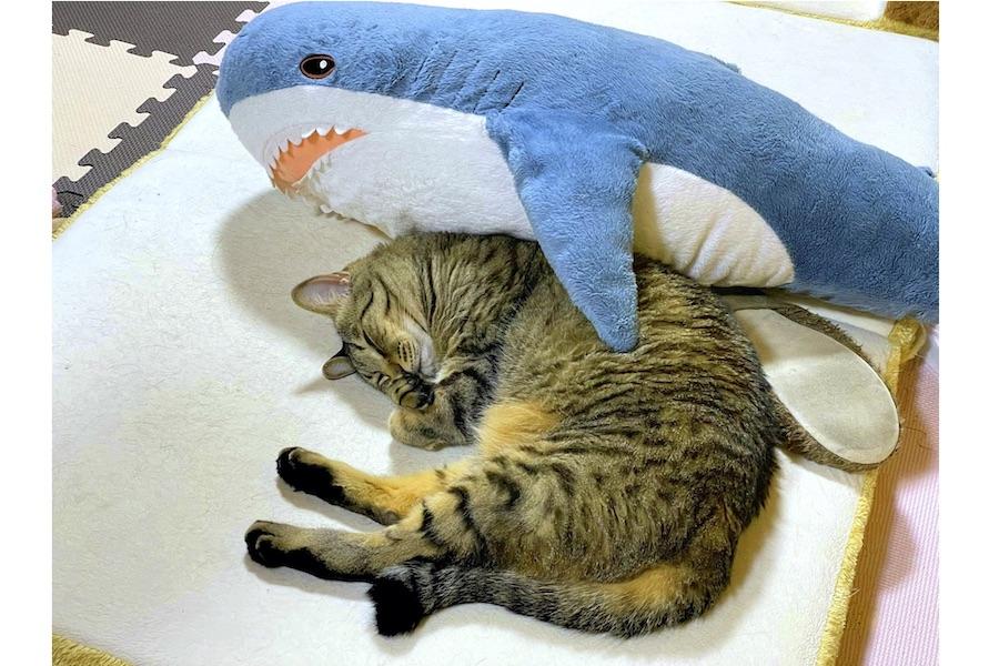 サメのぬいぐるみからバックハグされて熟睡するトラくん【写真提供:マクー(@yonasawa)さん】