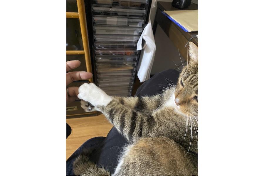 """""""両手""""で飼い主さんの指をギュッと握るねこじろうくん【写真提供:anima(@animacreation)さん】"""
