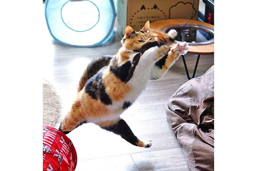 おもちゃと戯れるタマちゃんの躍動感にあふれた一枚【写真提供:ネコビュー(@nekoview)さん】