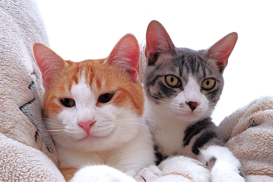 仲良し末っ子コンビのモナカくん(左)とごうくん(右)。毛づくろいをめぐってまさかの事態に…【写真提供:保護猫家族(@neko9wan2)さん】