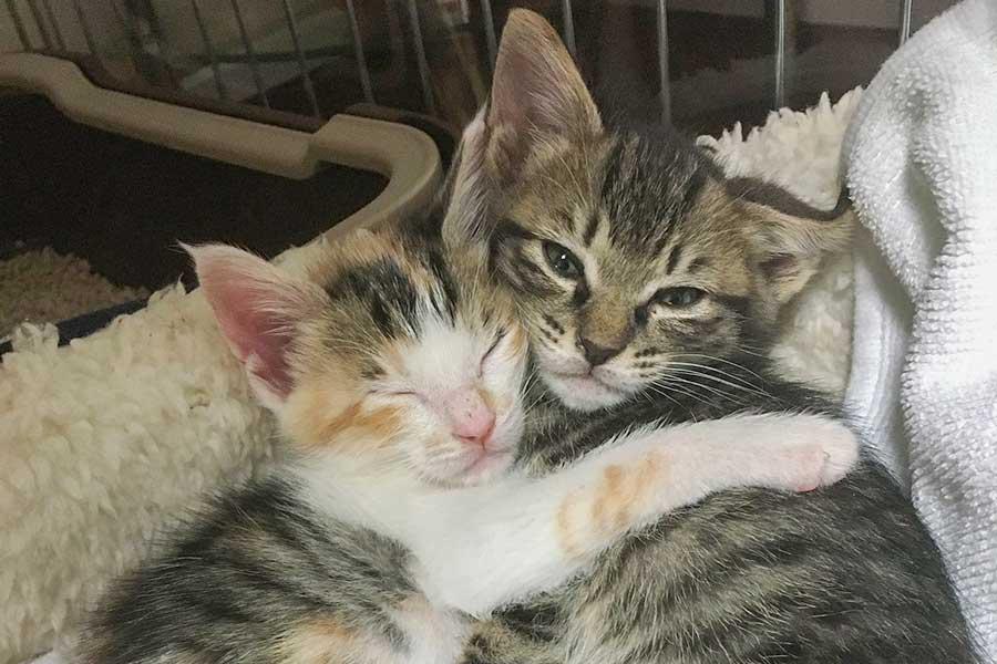 何をするのも一緒のマノンちゃん(左)とシャノンちゃん(右)。寄り添って寝る姿に癒やされる人が続出【写真提供:ねこたち(@mamnnsnn)さん】
