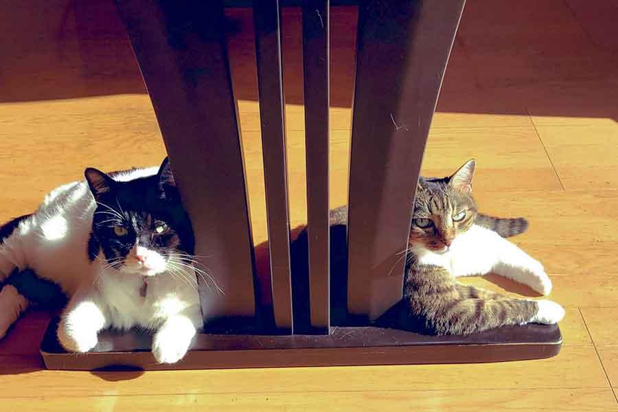 """左が話題の""""かまってアピール""""が激しいねこ、くろくん。右は同居ねこのしまちゃん【写真提供:くろしま(@kuroshima_9640)さん】"""