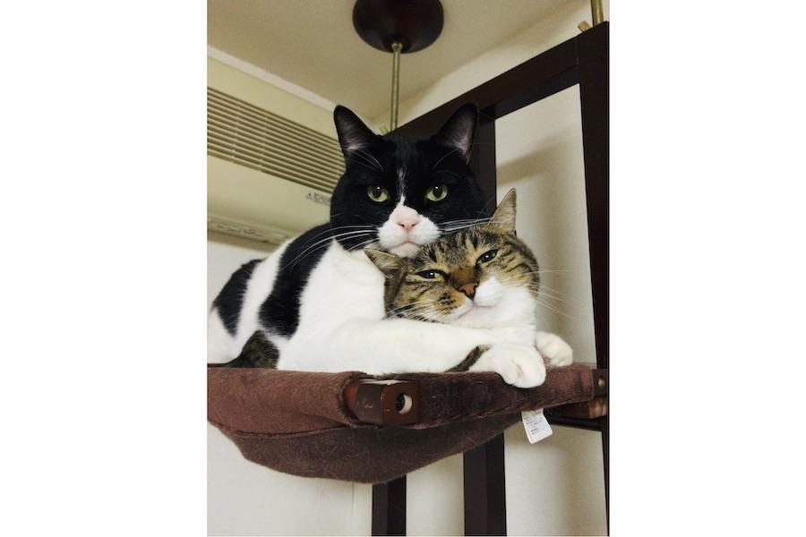 キャットタワーのてっぺんでドヤ顔のくろくんと何とも言えない表情のしまちゃん。2匹と暮らし始めた頃の思い出の一枚【写真提供:くろしま(@kuroshima_9640)さん】