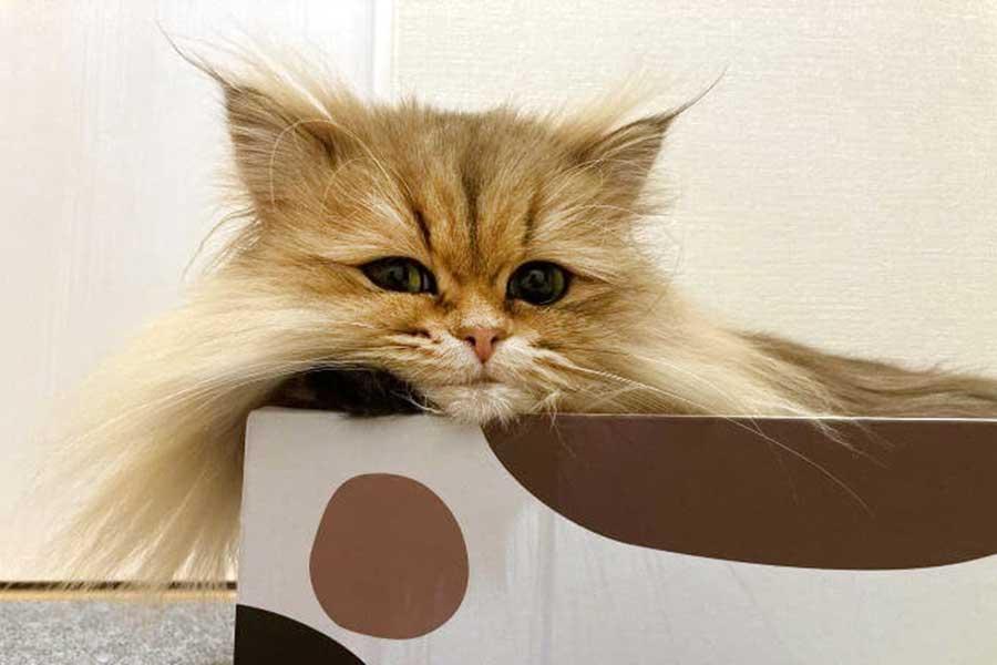 保護ねこカフェからお迎えしたむふぁたんくん【写真提供:触角猫むふぁたん(@mofumofumufatan)さん】