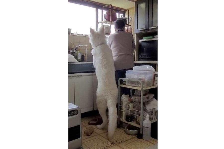 """隣の人とほぼ同じ""""身長""""……後ろ足で立つ姿に驚きの声が上がっている「ホワイト・スイス・シェパード」のヒカルくん【写真提供:かになべ@ペット大好き(@kaninabe776)さん】"""