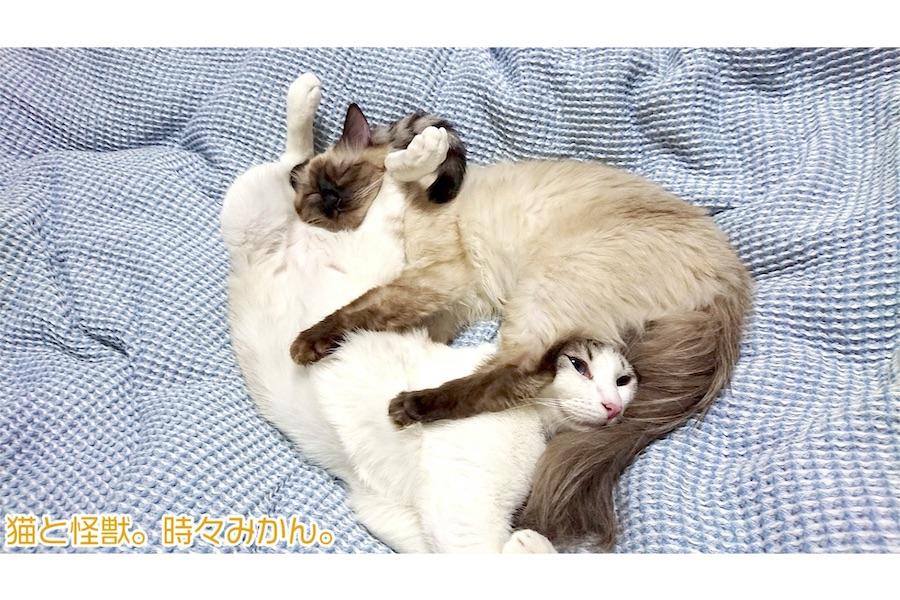 絶妙に絡み合ったままの姿勢で寝るアルカくん(右)とカルトくん(左)【写真提供:猫と怪獣。時々みかん。(@0000orangeeee)さん】