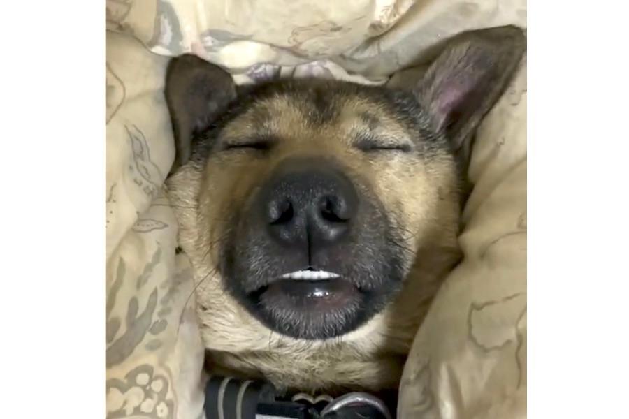 「寝顔のひどさに定評がある」元保護犬のオスカくん(画像はスクリーンショット)