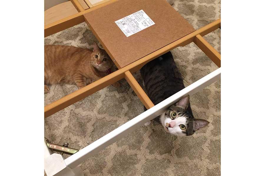 こたつが片付けられたことにショックを隠し切れない様子のねぎとろちゃん(左)と大福くん【写真提供:みき・はちゅねこ好き(@meow_mikii)さん】