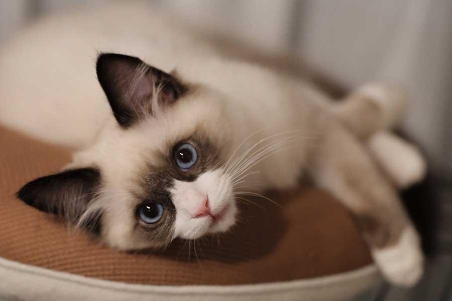 生後3か月のコタツくん【写真提供:コタツログ・ラグドールの子猫(@ragdoll_cotatsu)さん】