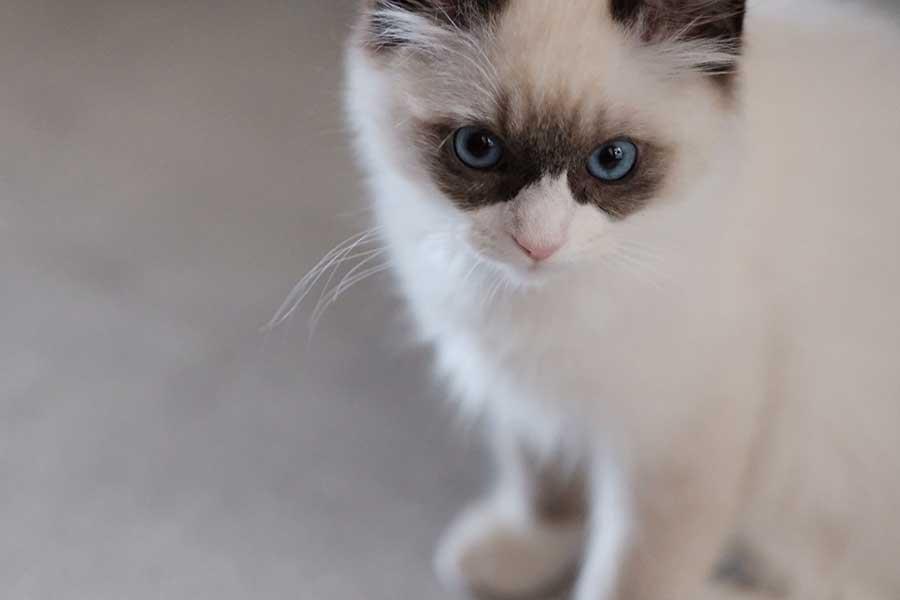 やんちゃ盛りで遊ぶのが大好き【写真提供:コタツログ・ラグドールの子猫(@ragdoll_cotatsu)さん】
