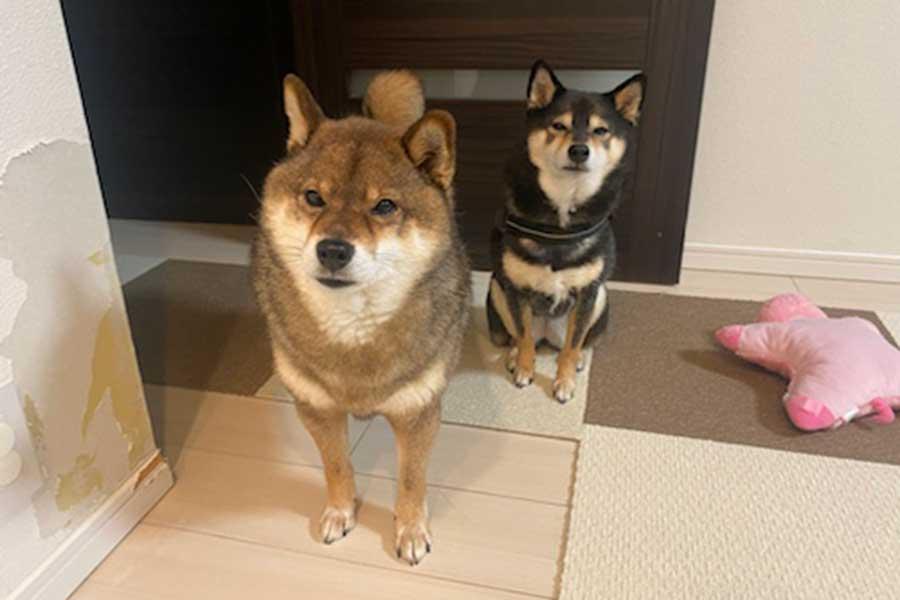 左が花ちゃん、右が先住犬のあずきちゃん【写真提供:あずはな(@shibainu_hanazu)さん】