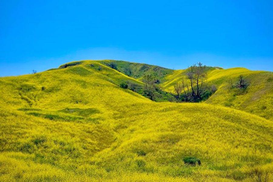 一面にマスタードの花が咲く、米カリフォルニア州の山々【写真:小田島勢子】