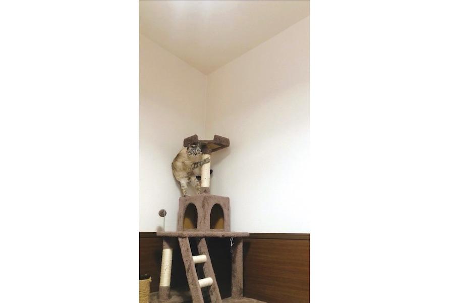 引きで見ると…キャットタワーの高いところまで逃げています【写真提供:ちゃちゃ(@chacha_choco_)さん】