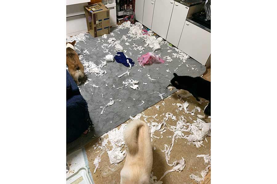 愛犬による盛大な「いたずらパーティー」、事後の様子【写真提供:ともぞう@犬猫屋敷(@shiba_inu_de)さん】