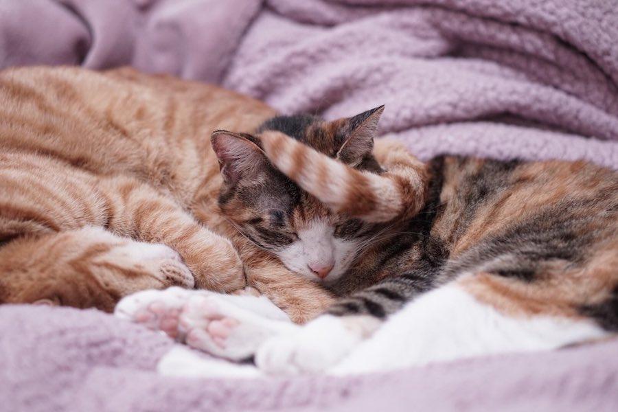 顔の前でシッポをパタパタされても起きないいちごちゃん【写真提供:三毛猫いちご(@mikenekoichigo)さん】