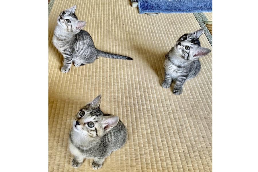 左からしおくん、まめくん、ごまくん。飼い主さんが部屋の中で干す洗濯物に興味津々【写真提供:猫コタさんとごま・しお・まめと親バカ(@HizzkoBcZOCl6w9)さん】