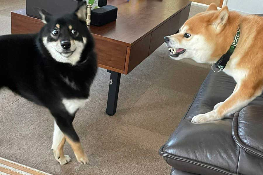 こてまる先輩(右)に怒られて驚いてしまったつぶらちゃん。その表情に爆笑する人が続出【写真提供:ゆら・柴犬つぶら(@yurayura0105)さん】