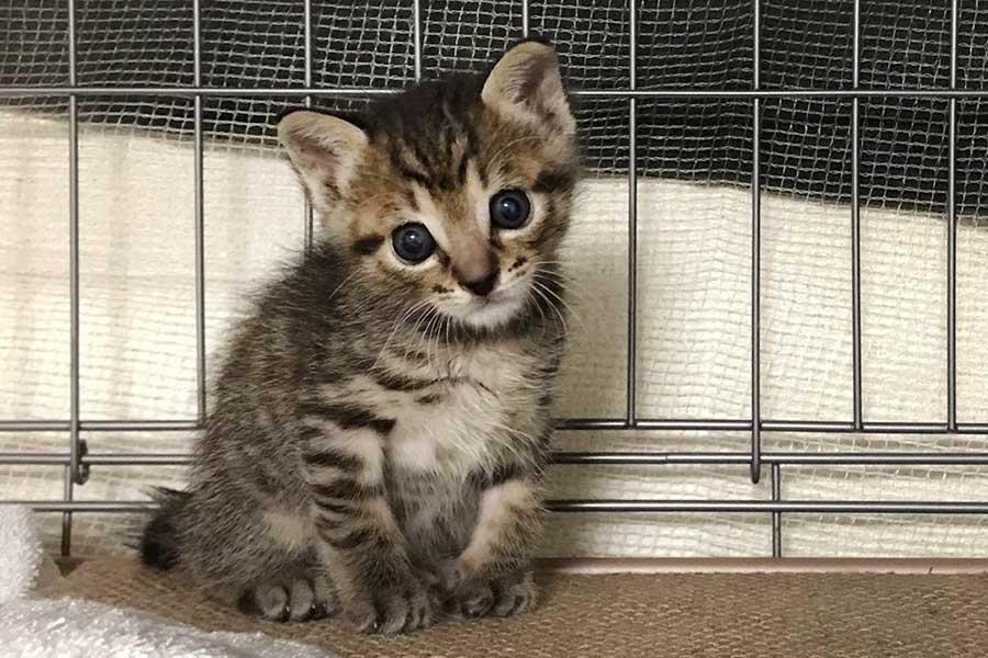 キョトンとした表情のおこめちゃん。この姿に警官も思わず「かわいい~」と悶絶?【写真提供:しぴ(ソマリ)と、突然現れた保護猫ちゃんの記録(@chipie0826)さん】