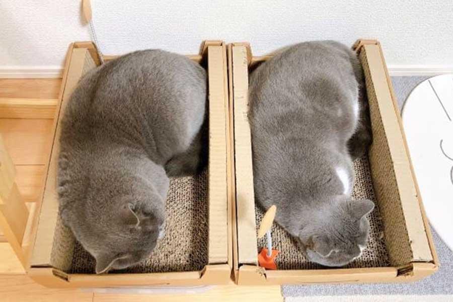 並んで寝るぐみちゃん(左)と、とらちゃん【写真提供:ぐみととら(@gumitora777)さん】