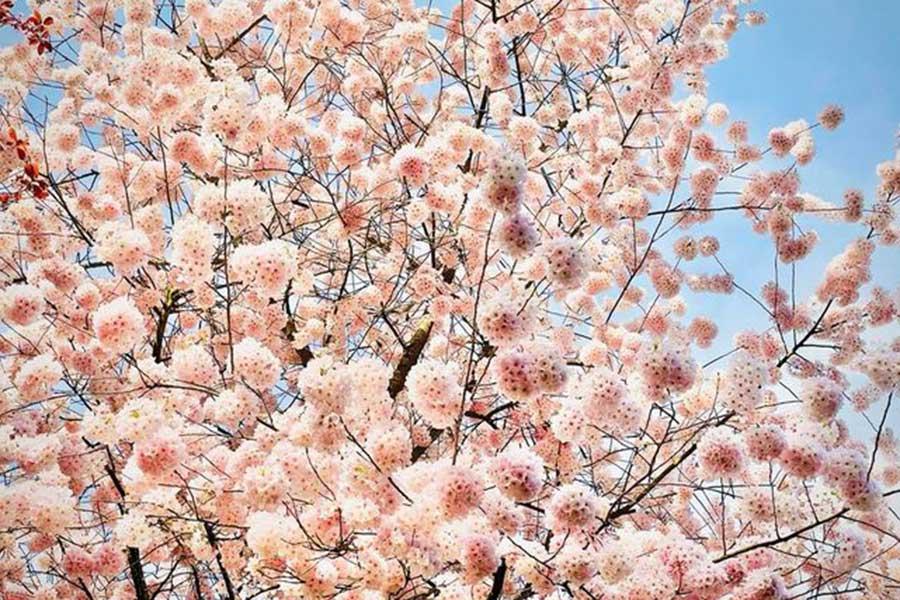 水が豊富なワシントンで空いっぱいに広がる桜【写真:小田島勢子】