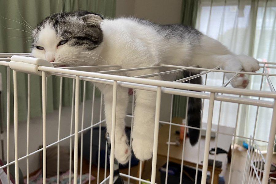 ケージの上ですっかり脱力のミーちゃん。実はふて寝の最中とのこと【写真提供:ミーさん(@UhJRkb57Yk7Sjbl)さん】