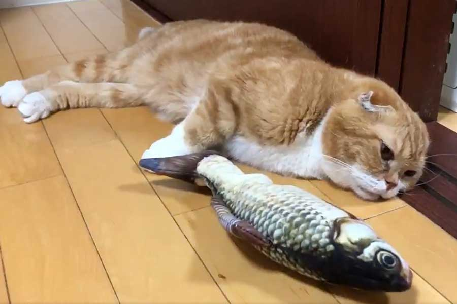 魚のおもちゃを前に「我関せず」といった様子のきのこくん(画像はスクリーンショット)