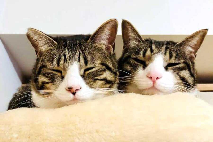 そっくりな元保護ねこ兄妹。左が妹のチョコちゃん、右が兄チップくん【写真提供:チョコチップ(@mikan1101)さん】