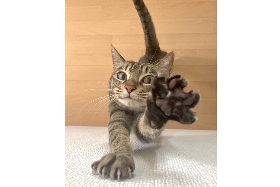 """悶絶する人が続出!? こはるんの""""女豹のポーズ""""【写真提供:かにかま(@lives_of_cats)さん】"""
