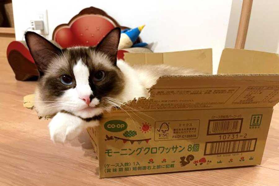 段ボール箱に詰まるコテツくん【写真提供:コテツとまる(@mofu_kote)さん】